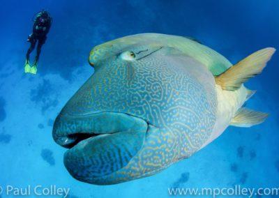 Napoleon Fish Close Up