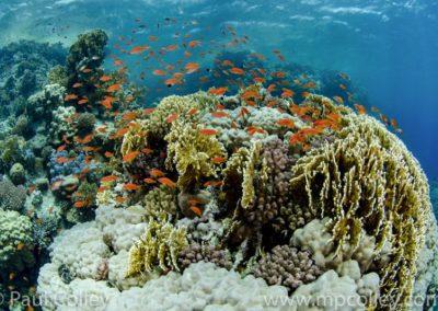 Corals and Anthias